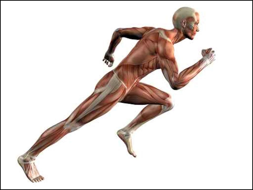El Musculo Corredor